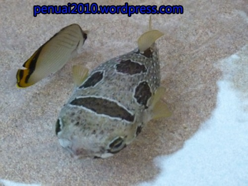 Ikan Buntal di Pantai Kukp